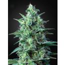 Greenhouse White Widow CBD AUTO Seeds 3er