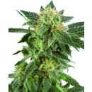 White Label Snow Ryder AUTO Seeds 3er