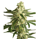 White Label White Diesel Haze AUTO Seeds 5er