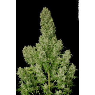 Serious Seeds White Russian Seeds 6er