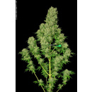 Serious Seeds White Russian Seeds 11er
