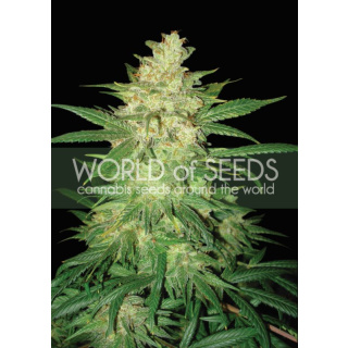WOS Sweet Coffee Ryder AUTO Seeds Autoflowering Collection Seeds 7er