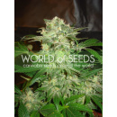 WOS Mazar Kush Seeds Legend Collection Seeds 7er