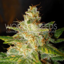 WOS New York Special Seeds Legend Collection Seeds 7er