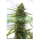 WOS Kilimanjaro Seeds Pure Origin Collection Seeds 7er