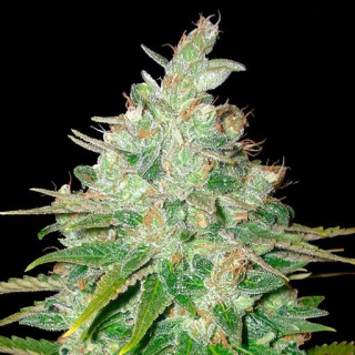 WOS Afgan Kush x Black Domina Seeds Medical Collection Seeds