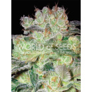 WOS Afgan Kush x White Widow Seeds Medical Collection Seeds