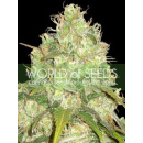 WOS Afgan Kush x Yumbolt Seeds Medical Collection Seeds