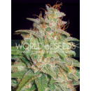 WOS Mazar x White Rhino Seeds Medical Collection Seeds