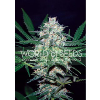 WOS Pakistan Valley Seeds Pure Origin Collection Seeds