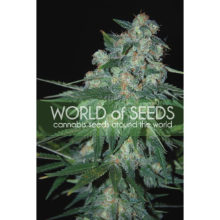 WOS Ketama Seeds Pure Origin Collection Seeds