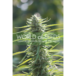 WOS Colombian Gold Seeds Pure Origin Collection Seeds