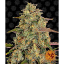 Barneys Farm Amnesia Lemon Seeds 5er