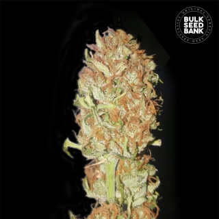 Bulk Seed Bank - Auto Psychedelic 1000er Packung feminisiert