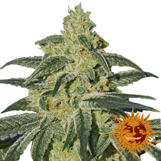 Barneys Farm Afghan Hash Plant Seeds