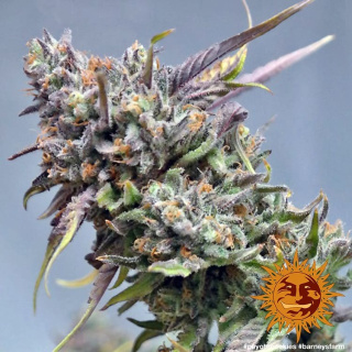 Barneys Farm Peyote Cookies Seeds