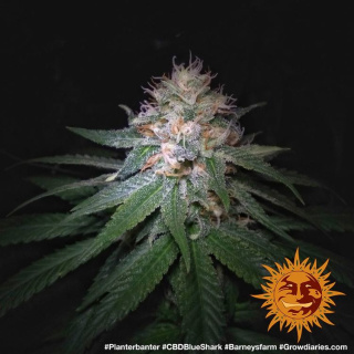 Barneys Farm CBD Blue Shark Seeds