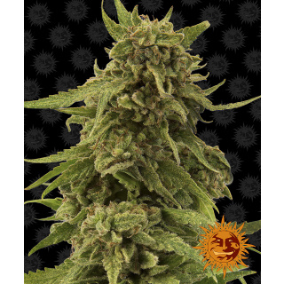 Barneys Farm CBD Critical Cure Seeds