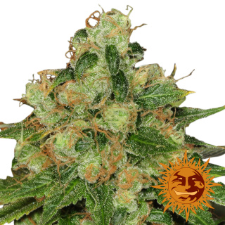 Barneys Farm CBD Caramel Seeds