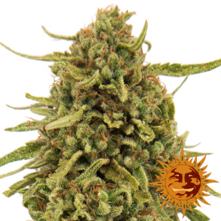 Barneys Farm Widow Remedy Seeds