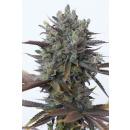 DINAFEM Purple Orange CBD Seeds