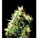 Greenhouse NL5 Haze Mist Seeds 3er