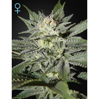 Greenhouse Kings Kush CBD Seeds