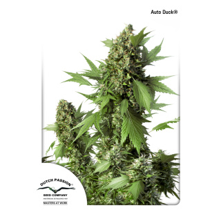 Dutch Passion AUTO Duck Seeds